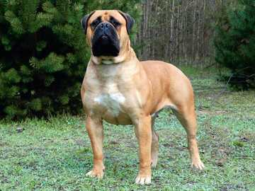 Bullmastiff séptimo perro más grande del mundo