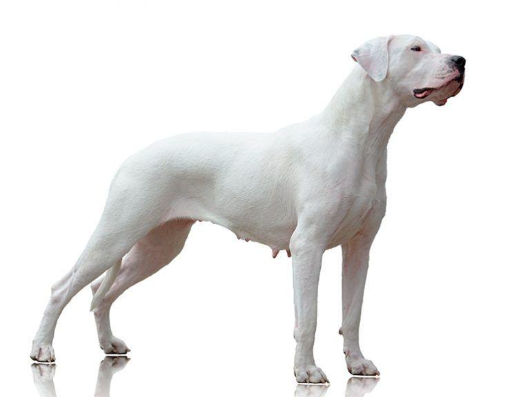 Dogo Argentino octavo perro más grande del mundo
