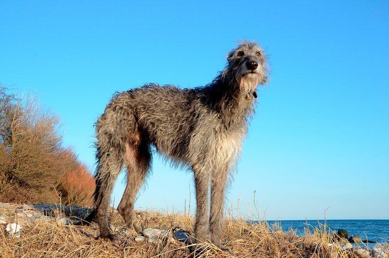 El Galgo Escocés el sexto perro más grande
