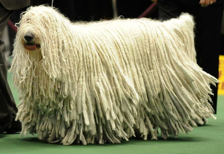 perro Komondor segundo perro más grande
