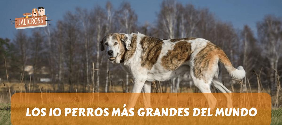 LOS 10 PERROS MÁS GRANDES DEL MUNDO