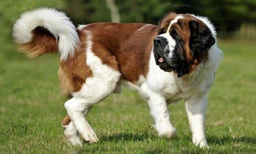 Perro san bernardo cuarto perro más grande