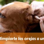 Cómo limpiarle las orejas a un perro