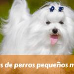 15 razas de perros pequeños mini toy