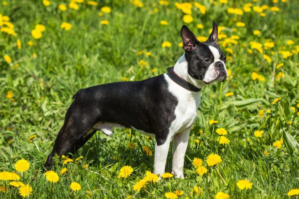 Boston Terrier mejor perro para niños