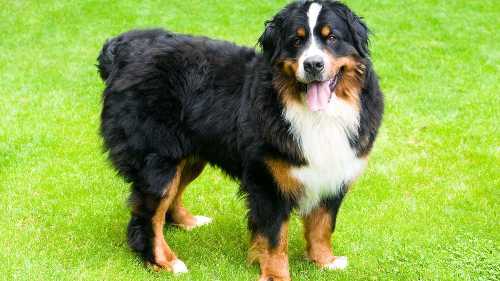 Boyero de Berna (Perro de montaña) mejor perro para niños