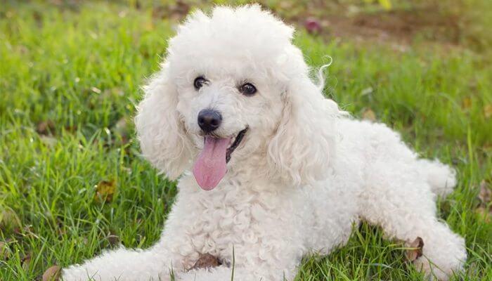 Caniche Poodle mejor perro para niños