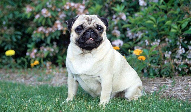Doguillo (Pug) mejor perro para niños