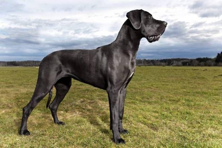 Gran danés perros más peligrosos