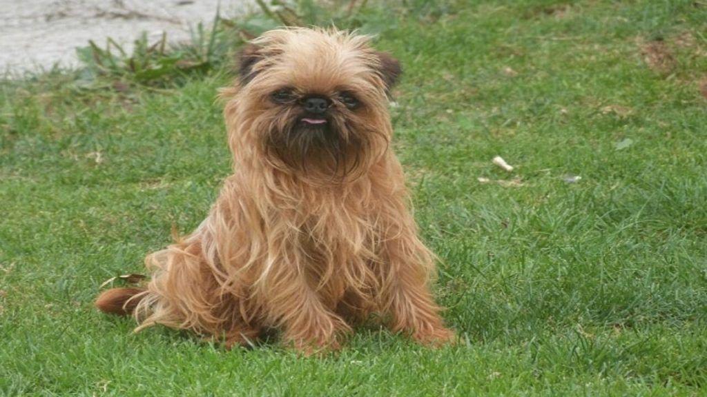 Grifón de Bruselas mejor perro para niños