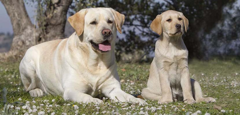 Labrador Retriever mejor perro para niños
