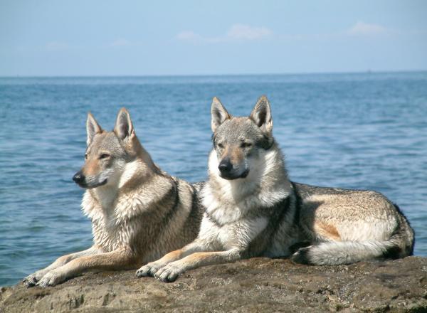 Lobo híbrido perros más peligrosos