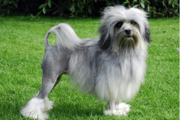 Löwchen perros más caros