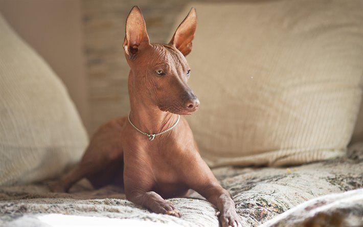 Orquídea Inca Peruana perros más feos
