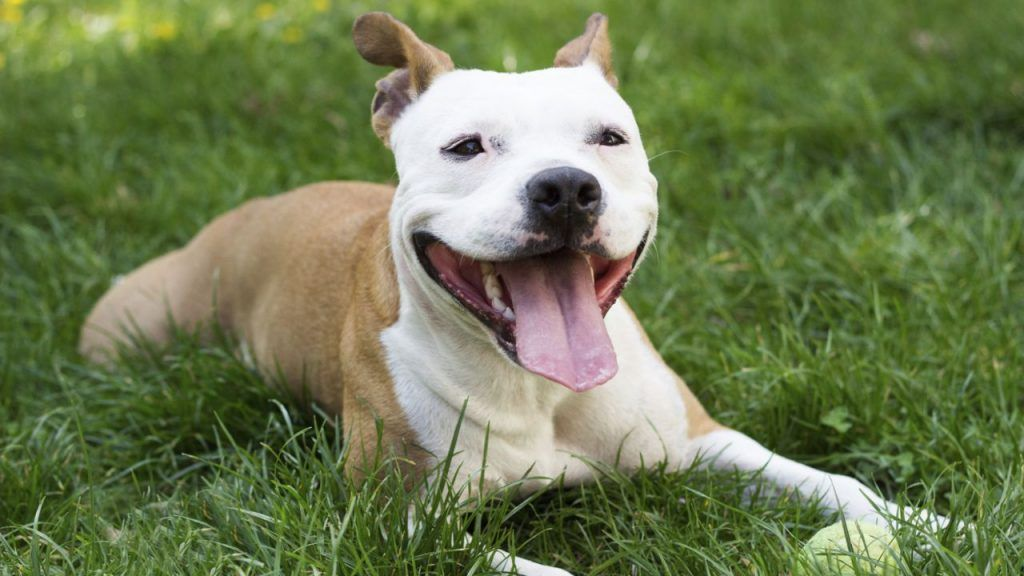 Pitbull perros más peligrosos