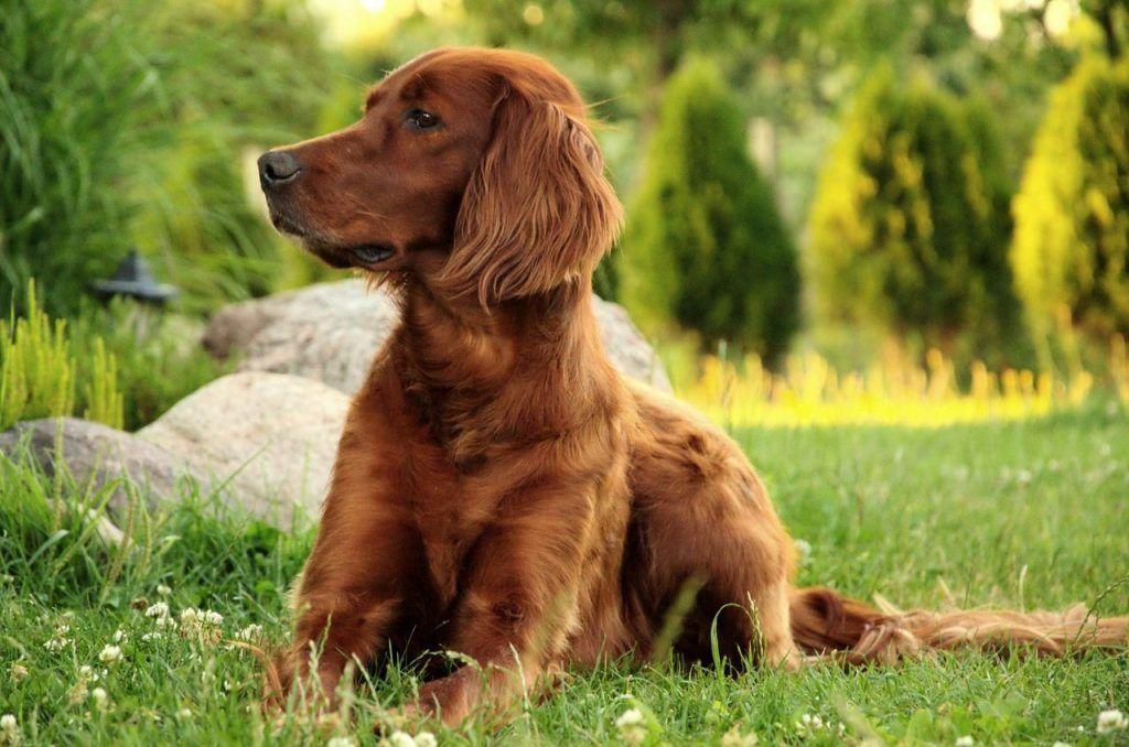 Setter irlandés mejor perro para niños