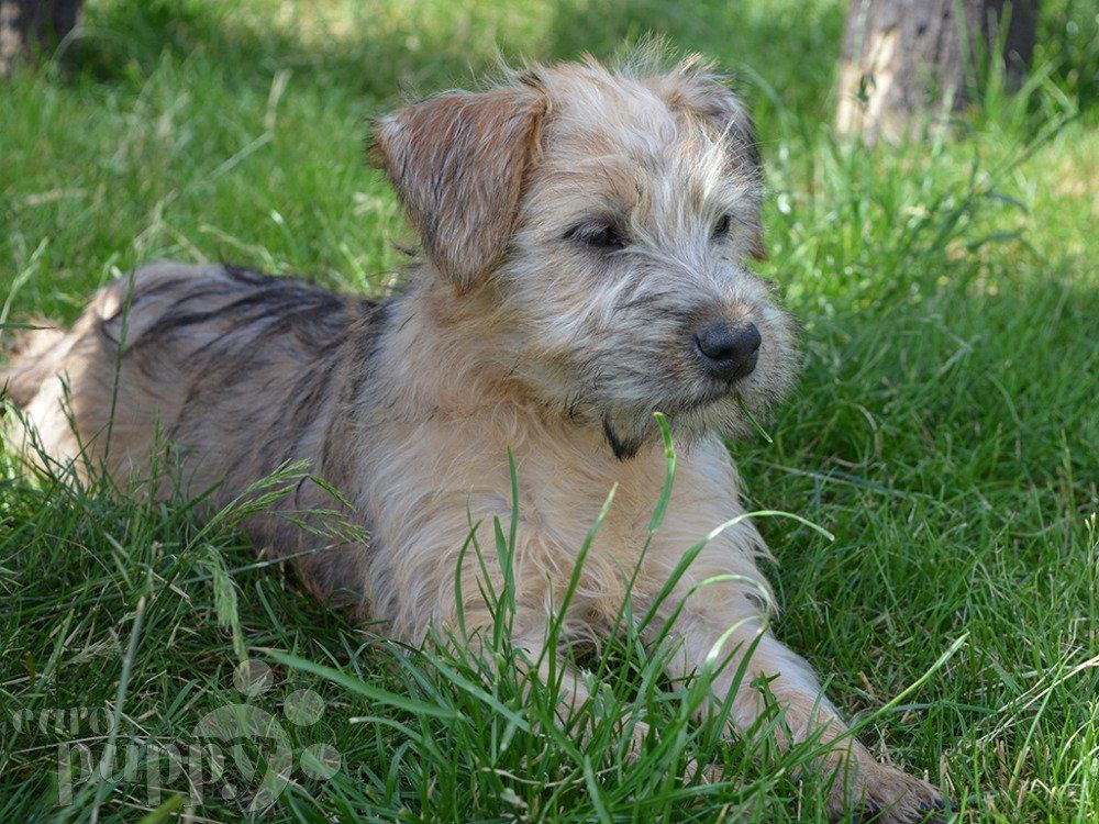 Terrier (de capa suave) mejor perro para niños