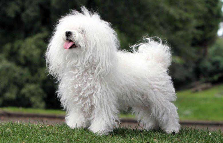 Bichón Boloñés (Boloñesa) razas de perros hipoalergénicos