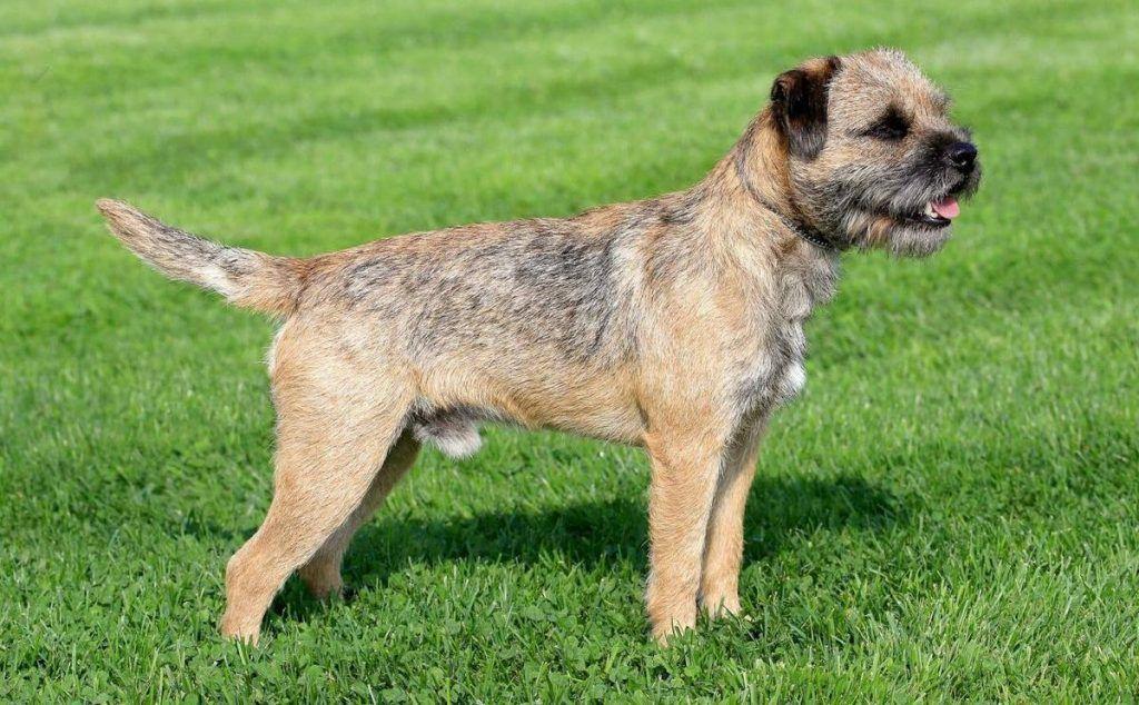 Border Terrier razas de perros hipoalergénicos