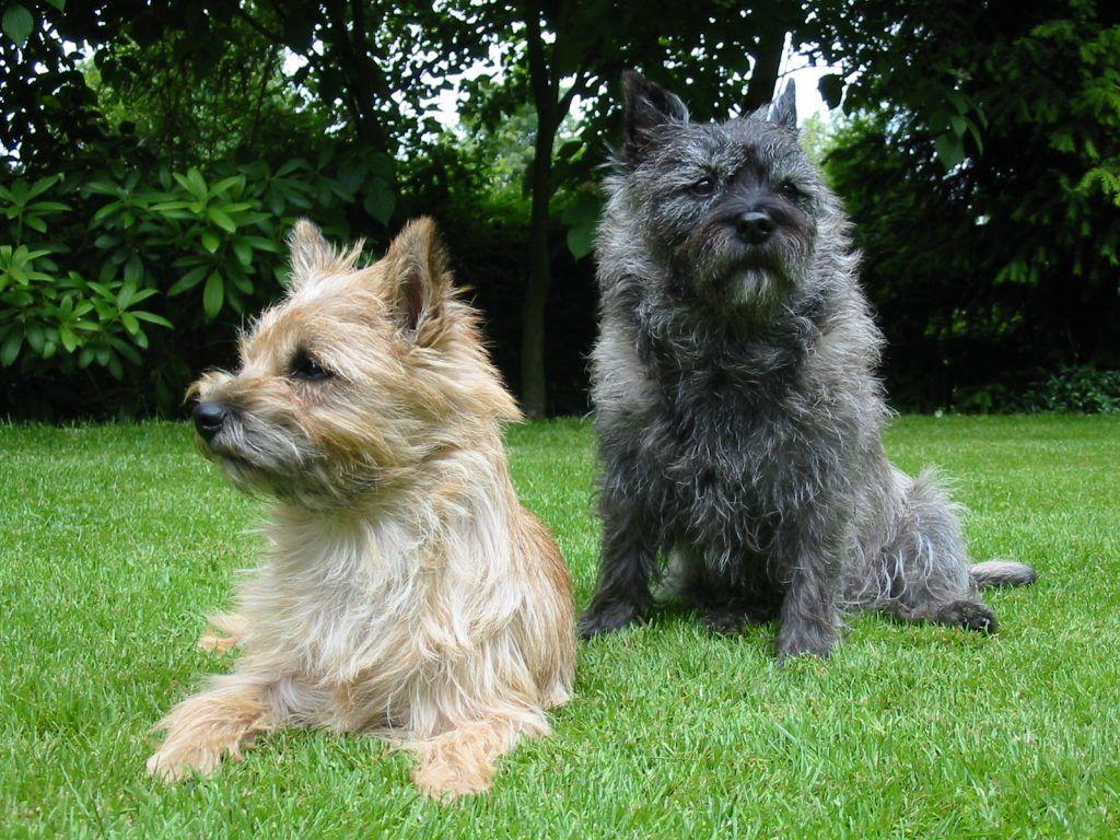 Cairn Terrier razas de perros hipoalergénicos