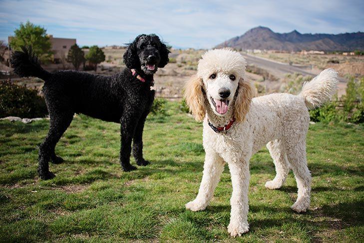 Caniche estándar razas de perros hipoalergénicos