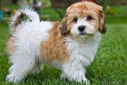 Cavachon razas de perros hipoalergénicos