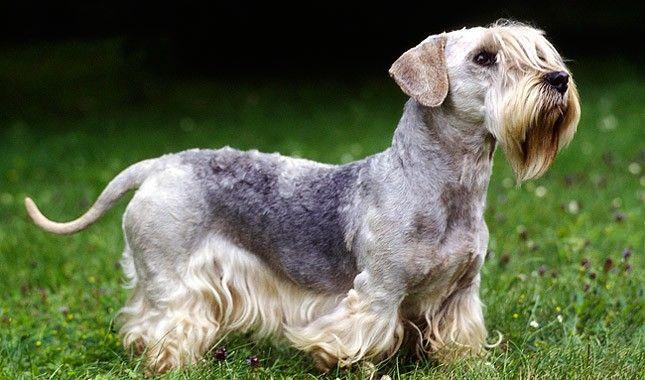Cesky terrier razas de perros hipoalergénicos