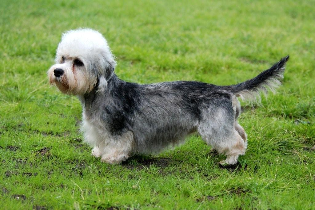 Dandie Dinmont Terrier razas de perros hipoalergénicos