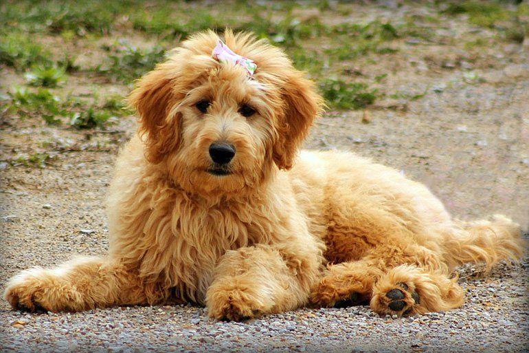 Doodle dorado razas de perros hipoalergénicos