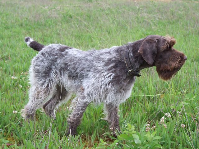 Grifón de pelo duro razas de perros hipoalergénicos