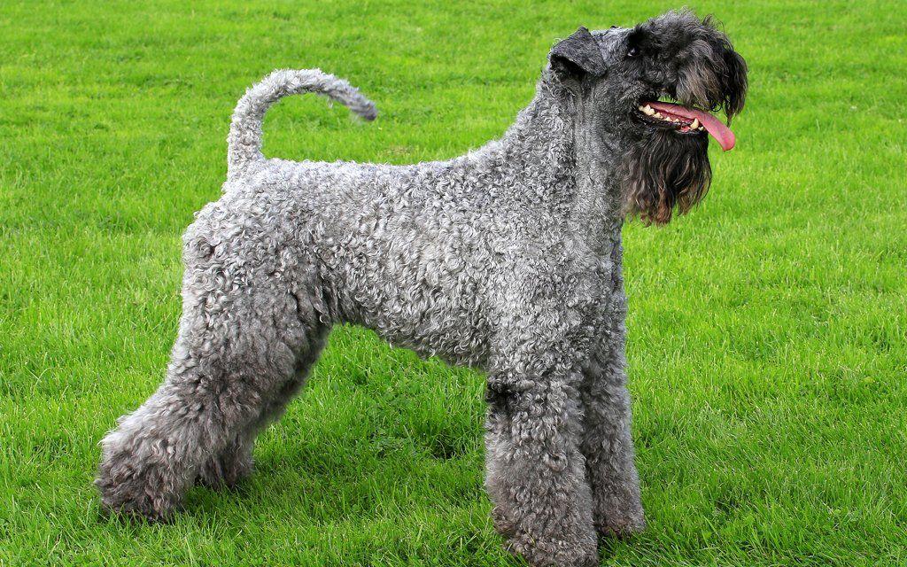 Kerry Blue Terrier razas de perros hipoalergénicos