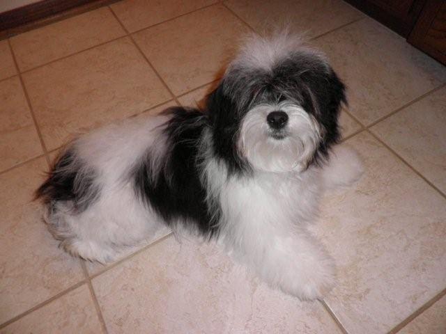 Kyi-Leo razas de perros hipoalergénicos