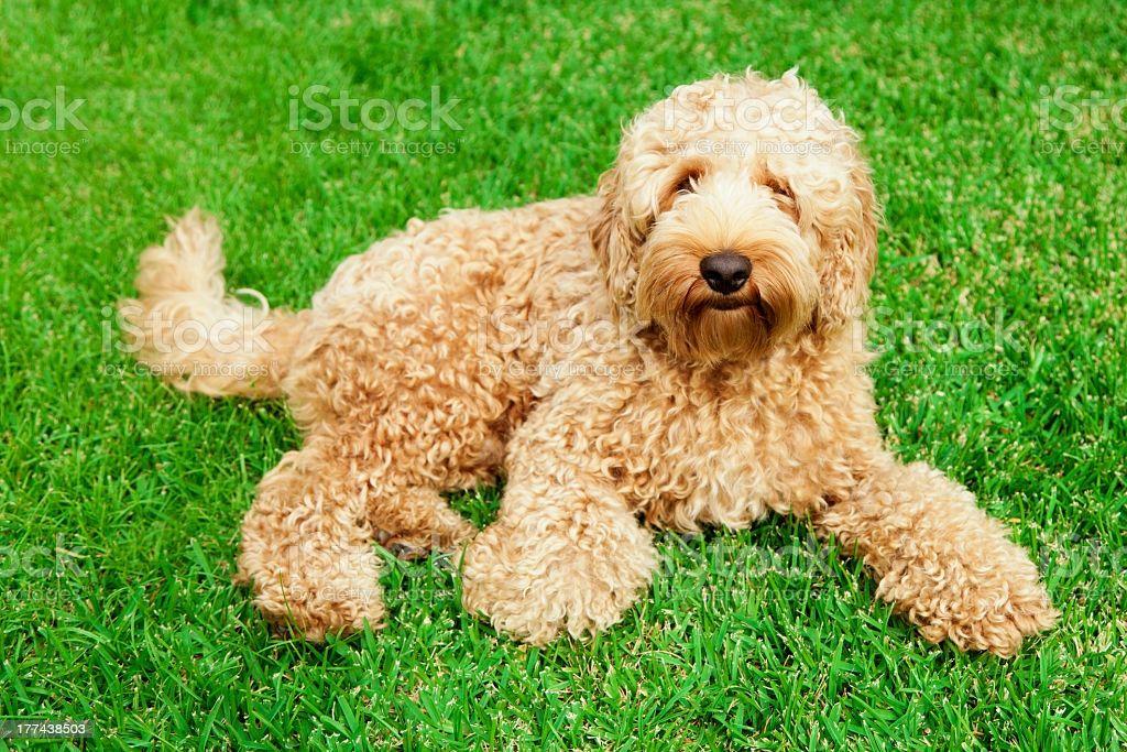 Labradoodle razas de perros hipoalergénicos