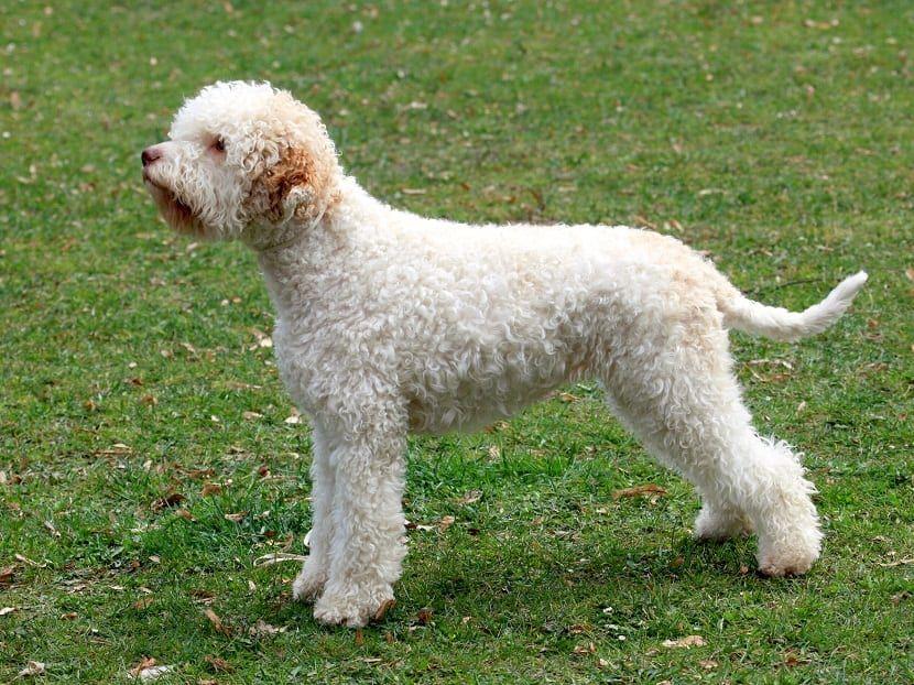 Lagotto Romagnolo razas de perros hipoalergénicos