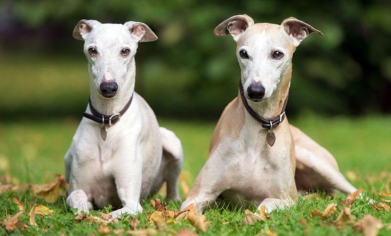 Lebrel whippet razas de perros hipoalergénicos