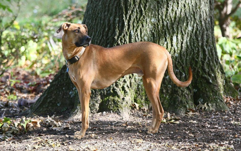 Mountain Cur razas de perros hipoalergénicos