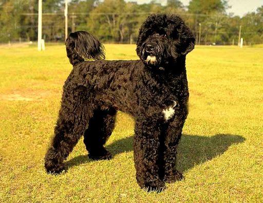 Perro de agua portugués razas de perros hipoalergénicos