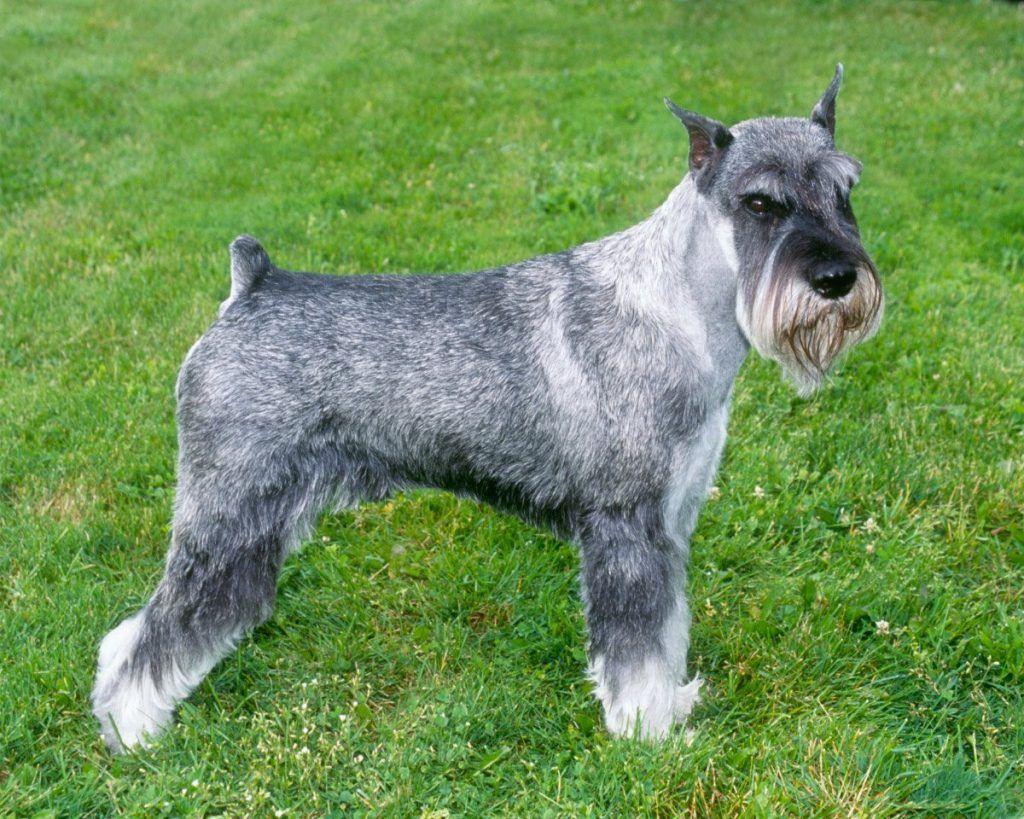 Schnauzer estándar razas de perros hipoalergénicos