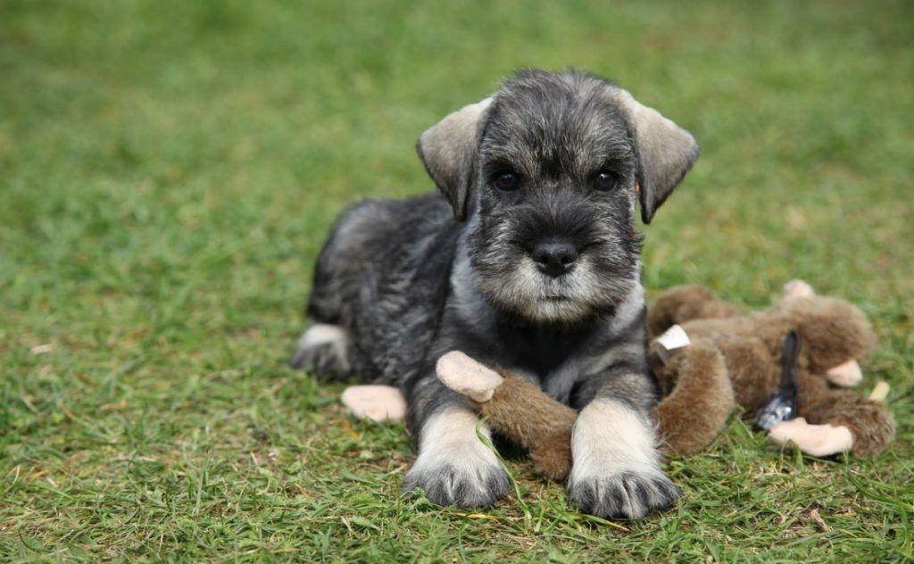 Schnauzer miniatura perros más inteligentes