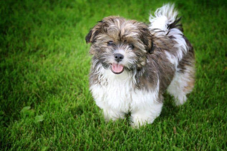 Shichon razas de perros hipoalergénicos