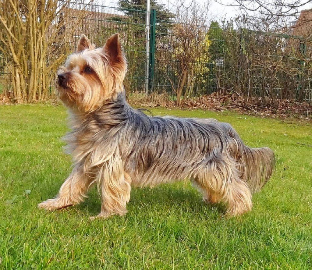 Terrier australiano razas de perros hipoalergénicos