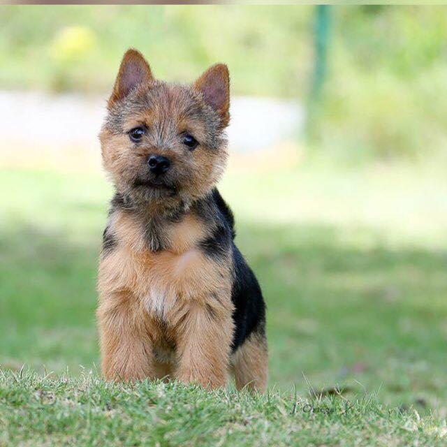 Terrier de Norwich razas de perros hipoalergénicos
