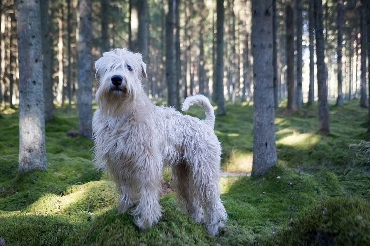 Terrier de trigo de capa suave razas de perros hipoalergénicos