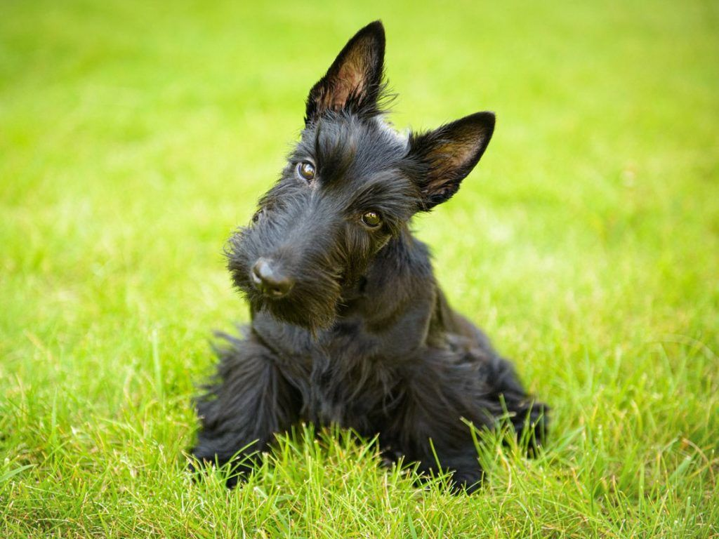 Terrier escocés razas de perros hipoalergénicos