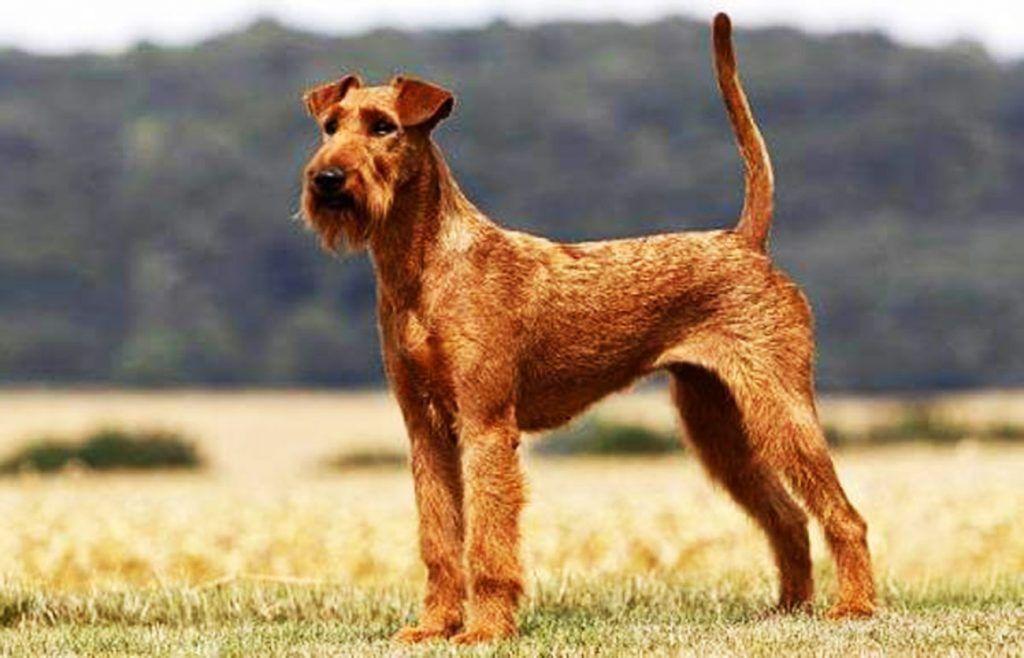 Terrier irlandés razas de perros hipoalergénicos