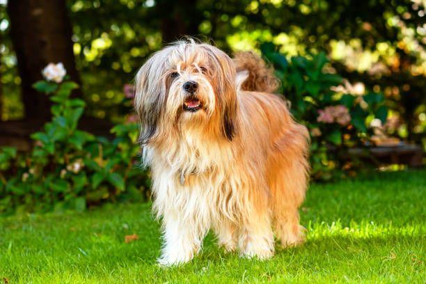 Terrier tibetano razas de perros hipoalergénicos