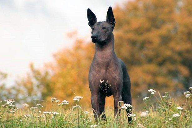 Xoloitzcuintle razas de perros hipoalergénicos